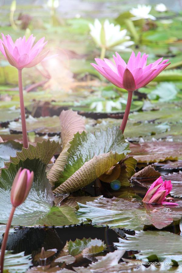 waterlilies Bali