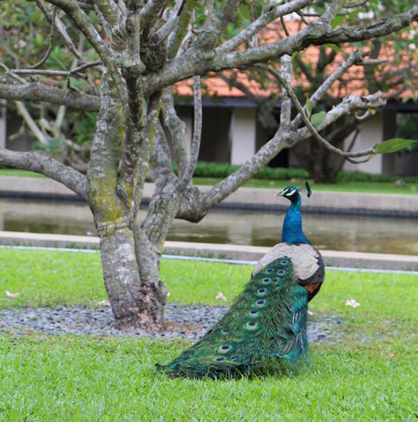Peacock Sentosa Island
