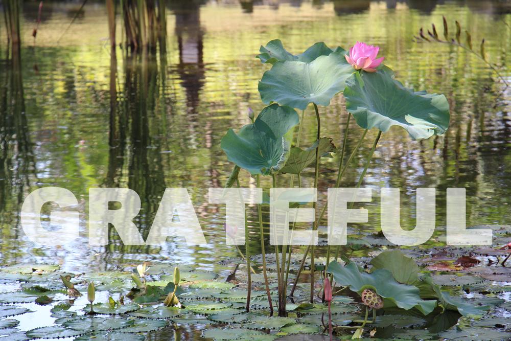 Grateful (Lotus)